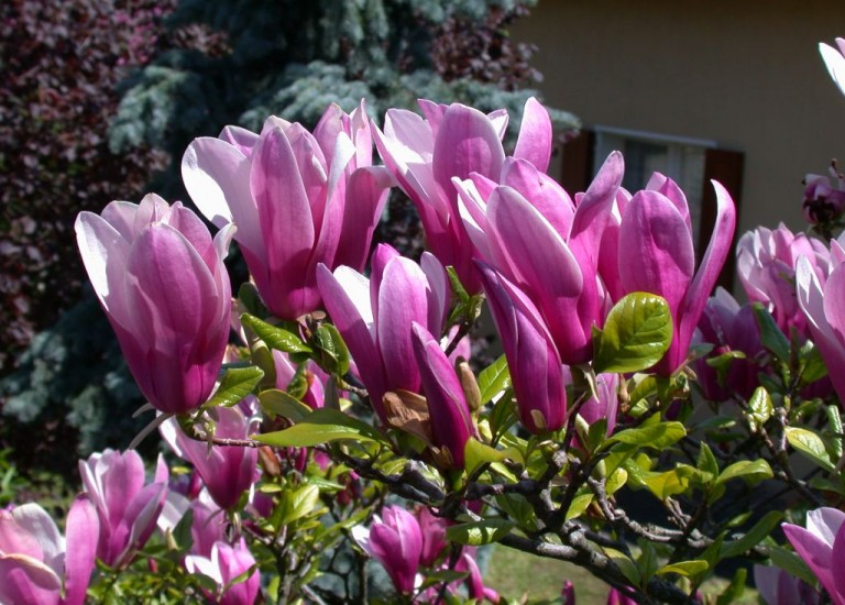 https://stjohnsgardencentre.co.uk/wp-content/uploads/2016/03/magnolia-susan_768x550_acf_cropped-1.jpg