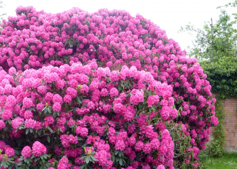 https://stjohnsgardencentre.co.uk/wp-content/uploads/2016/04/rhododendron_768x550_acf_cropped.jpg