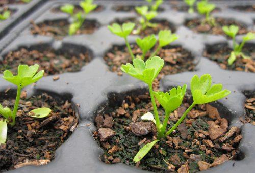 celery-seedling