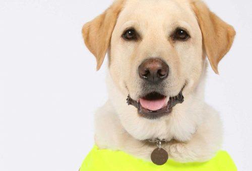 Labrador / Golden Retriever Guide Dog studio portrait.