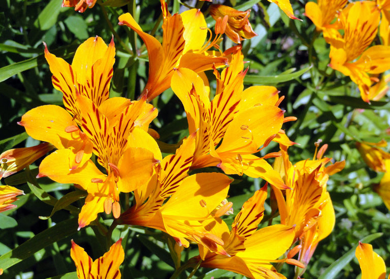https://stjohnsgardencentre.co.uk/wp-content/uploads/2018/06/Alstroemeria-Peruvian-lily_768x550_acf_cropped.jpg