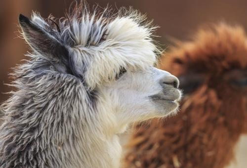 cadanze alpacas