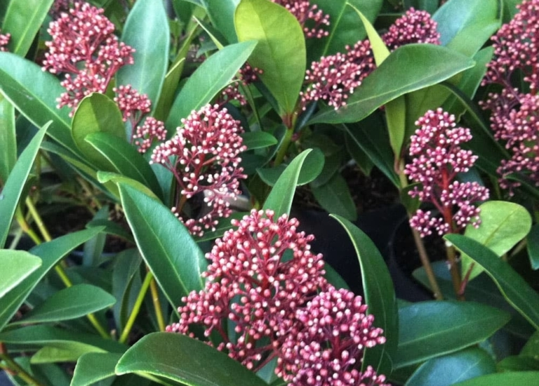 https://stjohnsgardencentre.co.uk/wp-content/uploads/2019/11/skimmia_768x550_acf_cropped.jpg