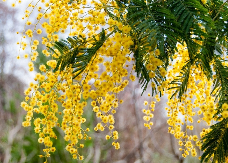 https://stjohnsgardencentre.co.uk/wp-content/uploads/2020/02/Mimosa-7_768x550_acf_cropped.jpg
