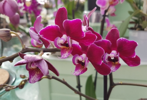 Orchid Feb 2