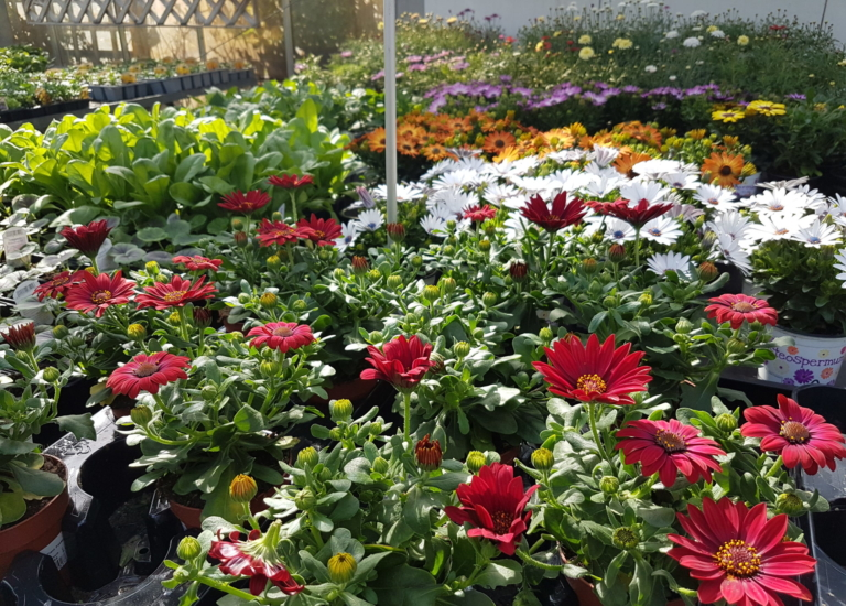 https://stjohnsgardencentre.co.uk/wp-content/uploads/2020/05/Bedding-Plants-May2-2020_768x550_acf_cropped-1.jpg