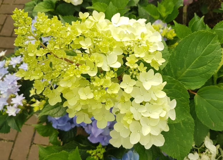 https://stjohnsgardencentre.co.uk/wp-content/uploads/2020/08/Hydrangea-POM-2_768x550_acf_cropped.jpg