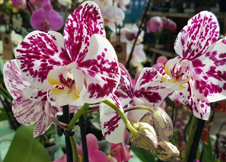 Orchid Feb 4