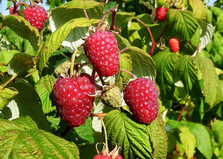 Raspberry Polka Sq