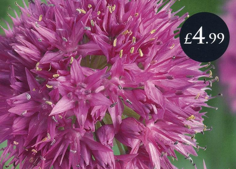 SE0082 Allium Rosy Dream