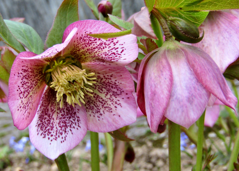 Hellebores_768x550_acf_cropped