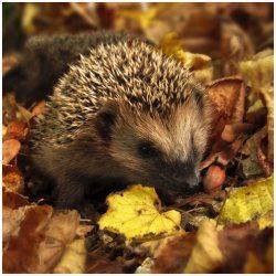 Hedgehog Feed & Housing