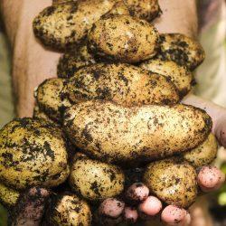 Seed Potatoes, Onions, Garlic & Asparagus