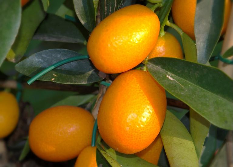 citrus-5018408_1920