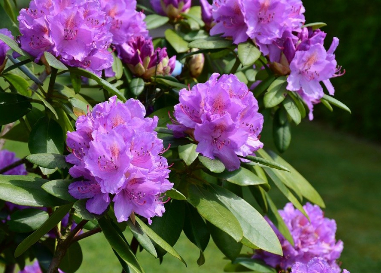 rhododendron-3411826_960_720