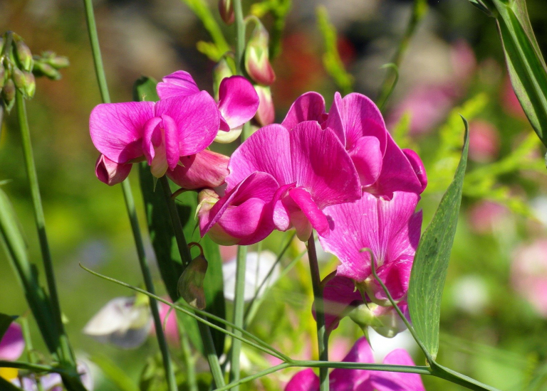 sweet-pea-scented-4551745_1920