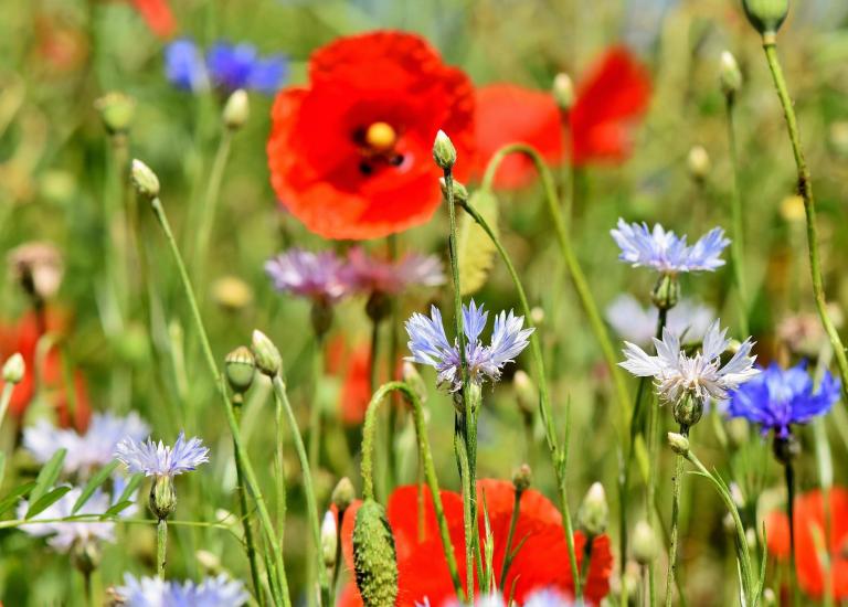 alpine-cornflower