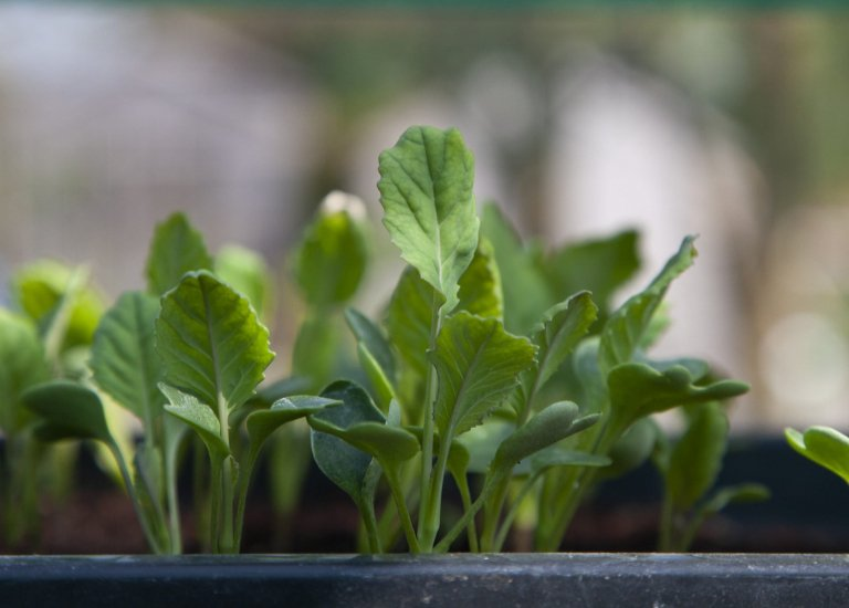 cauliflower-plants-scaled_768x550_acf_cropped