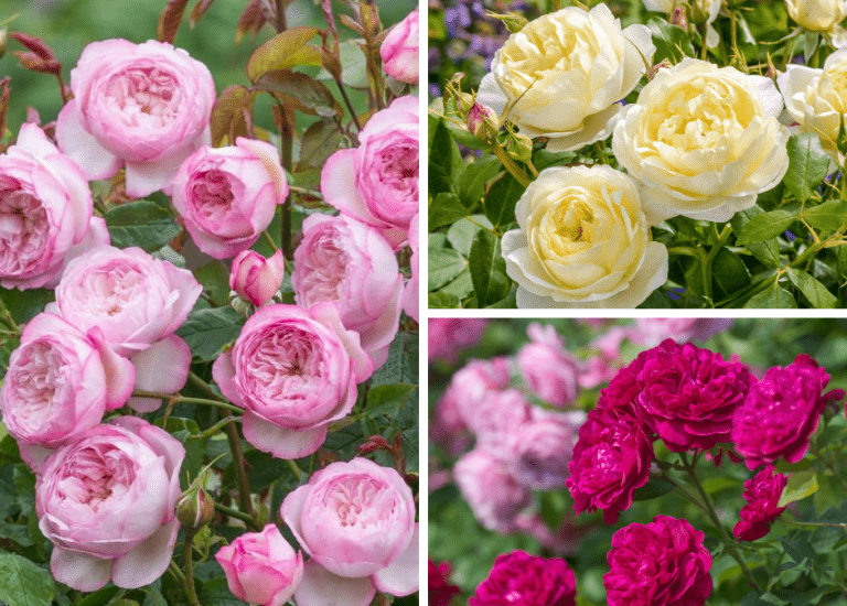 https://stjohnsgardencentre.co.uk/wp-content/uploads/2021/08/David-Austin-Roses-_768x550_acf_cropped_768x550_acf_cropped.png