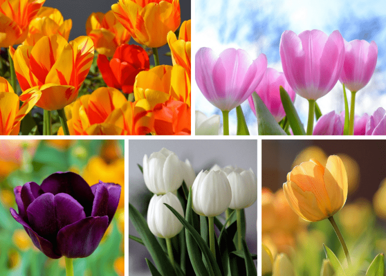 https://stjohnsgardencentre.co.uk/wp-content/uploads/2021/09/Tulips-2_768x550_acf_cropped.png