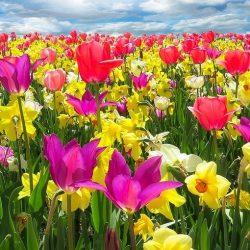 Spring Flowering Bulbs