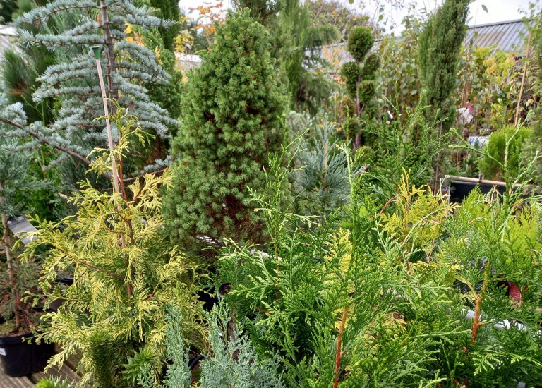 https://stjohnsgardencentre.co.uk/wp-content/uploads/2021/10/conifers-scaled_768x550_acf_cropped.jpg